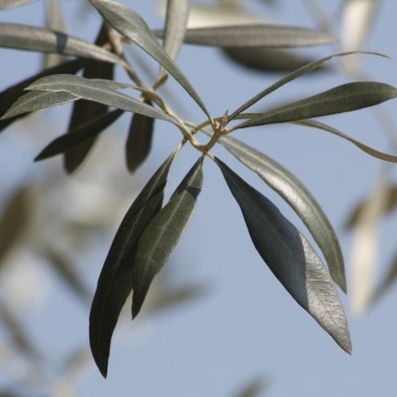 The Benefits Of Olive Leaf Extract |  Natures Awesome Cure