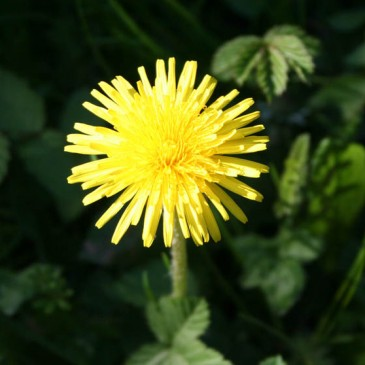 Dandelion Their Awesome Benefits | 10 Reasons To Use Dandelions